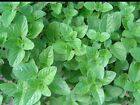 OREGANO SEEDS (200 + SEEDS)