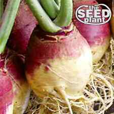 Amer. Purple Top Rutabaga Turnip Seeds - 500 SEEDS NON-GMO