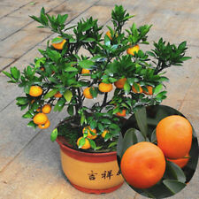 30 Seeds Edible Fruit Mandarin Citrus Orange bonsai tree Seeds New L7S