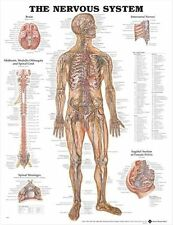 NERVOUS SYSTEM POSTER (66x51cm) Anatomical Chart Human Body Anatomy Medical NEW