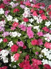 Vinca- Periwinkle (Vinca Rosea Dwarf Little Mix)- Mixed Colors- 50 Seeds