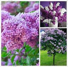 Striking 50 Purple Lilac Seeds Scented Beautiful Gardens Free Shipping 2