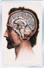 1800 MEDICAL HUMAN BRAIN ANATOMY FRIDGE MAGNET IMAN NEVERA