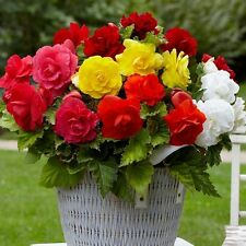 Begonia Double Mix Flower Seeds (Begonia Tuberosa) 30+Seeds