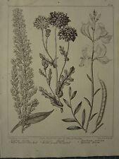 Date du 1806 imprimé fleuri ~ saule à feuilles golden rod ~ espagnol balai grounsel