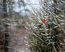 """PICTURE 8x10"""" MATTED TO 11x14"""" PHOTO PRINT WALL ART HOME DECOR CARDINAL BIRD"""