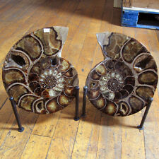 WOW!!!  GORGEOUS COLORING XL Ammonite Pair 13.5 inches  Madagascar  EAMM517
