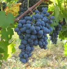 Concord Seedless Grape Live Plants Vine Organic 2 years Old Shipped Bare Root