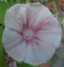 Pink Porcelain Blizzard - Japanese Morning Glory - 5 Seeds - ipomoea Nil - LIMIT