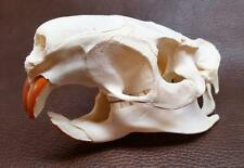 LG Nutria Skull Proff Cleaned by Taxid'st ZERO MISSING TEETH-Discounted 4 DMG