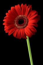 Gerbera Daisy Seeds - CALIFORNIA GIANT RED - Eye Catching Blooms - 10 Seeds