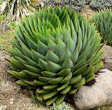 100 Graines Aloe polyphylla ,African Spiral Aloe Fresh seeds