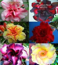 "NEW!! ADENIUM ""Mixed 6 Type"" 6 GRAFTED PLANT FRESH WOW!!"