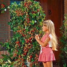 100X Rare Strawberry Seeds Strawberry Climbing Plant Fruit Seeds Home Garden new