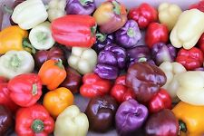 25 ROUMANIAN RAINBOW BELL PEPPER Heirloom White Orange Red Capsicum Annuum Seeds