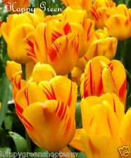 12 x Olympic flame tulip bulbs - Yellow red  - Easy to grow + Free Flower Seeds