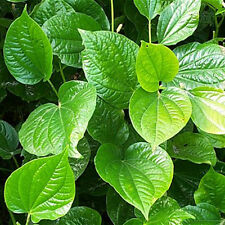 Betel Leaf, Piper Lolot Live Plant