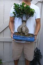 Ginseng Ficus Bonsai !