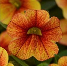 CALIBRACHOA Seeds ~ Crave SUNSET ~ Trailing for Hanging Baskets ~