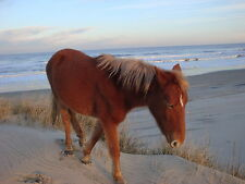 Outer Banks North Carolina - Wild Horse Sunset Pictures COLOR 8x10 Carova Beach