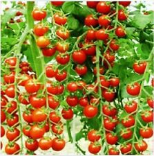 FARM RAISED ORGANIC NON-GMO CHERRY TOMATO SEEDS  EXTRA LARGE AND SWEET  LOW S&H