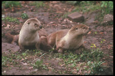 236037 Otters A4 Photo Print