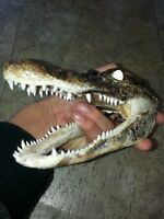4-5 inch Alligator head from a 3 foot gator skull real taxidermy reptile (S)