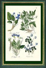 Steppen-Veilchen, Veilchen u.a. Kupferstich 1875, Pflanze, Grafik, Hallier Viola