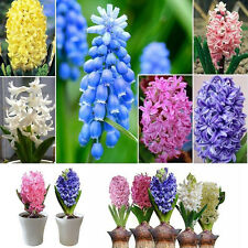 300Pcs Hyacinthus Orientalis Seeds Colorful Outdoor Garden Plant Seed Decor Hot