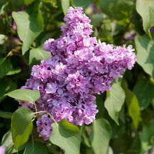 Syringa villivosa,  purple flowering Late Lilac/Korean Lilac,  10 tree seeds.