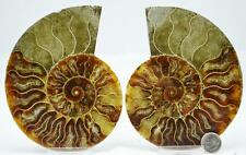 "6965 Fossil PAIR Ammonite Great Color Crystal Cavities XLARGE 5"" 110myo 127mm"