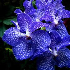 ORCHID PLANT  HAWAIIAN VANDA BLUE  - FLOWERING SIZE [ RARE ORCHID COLLECTION]