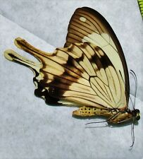 Lot of 10 African Swallowtail Butterfly Papilio dardanus Male Folded FAST USA