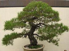 Pinus densiflora (Japanese Red Pine) 20+ Seeds(#012)