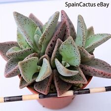 Lenophyllum guattatum KING SIZE rare succulent plant 19/3 Larryleachia Lithops m
