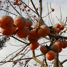 COFFEECAKE Live PERSIMMON Plant Live Fruit Tree 3-4 Y/o 3-5ft fruiting 2017