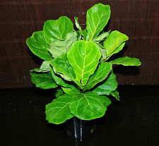"Ficus Lyrata Fiddle Leaf Fig Ornamental Houseplant Large Healthy 6"" Pot"