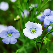 Benne Seed 60 Seeds Linum Perenne Flax Beautiful Flower Garden Seeds A265
