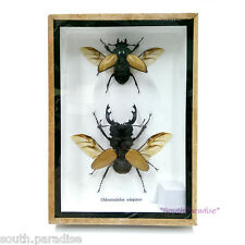Rare Real Stag Beetles Insect Taxidermy Display Entomology Wood Framed Box