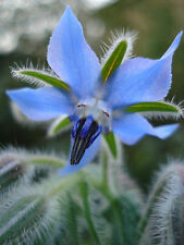 830mg ORGANIC Borage ~40 Seeds ~ Herbal Ornamental Flower Medicinal Oil Plant