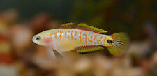 "Live Rare Freshwater Fish - 3 X 1.5"" Peacock Gudgeon - Peaceful Exotic Species"