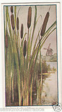 IMAGE CARD N°17 Massettes Typha Quenouilles Aquatic Plants Corn Dog GRASS PLANT