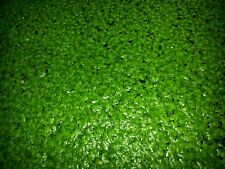 1 tablespoon of live Duckweed (Lemna Minor) Floating aquarium and pond plants