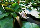 Lentikular -Wackelkarte: Aufblühende Seerose - Blooming Waterlily