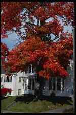228015 Colourful Tree Against White Clapboard House A4 Photo Print
