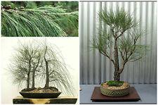 50 graines de Casuarina cunninghamiana, Oak Tropical,  graines bonsaï F