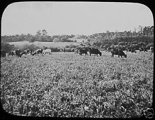 Glass Magic Lantern Slide HERD OF CATTLE C1910 PHOTO FARMING SOUTH AFRICA COWS