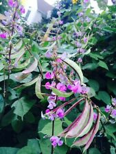 15 seeds Red-Leaved Hyacinth Bean free shipping ornamental landscaping
