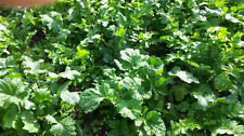 5 LBS DEER GREENS PURPLE TOP TURNIP DAIKON RADISH RAPE SEED DEER FOOD PLOT SEED