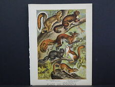 Johnson's Household Book of Nature, 1880 One Antique Print! #25 Squirrels